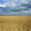 Field of ripe wheat and dramatic sky - Stock Photo
