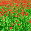 Field of tulips - Stock Photo