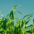 Foliage of corn - Stock Photo