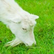 Goat eating close up - Stock Photo