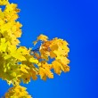 Maple branch on a background of the blue — Stock Photo #1078338