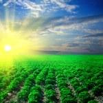 Potato field on a sunset — Stock Photo