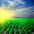 Potato field on a sunset — Stock Photo