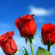 Stock Photo: Rose red