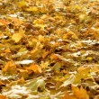 The fallen yellow foliage — Stock Photo