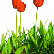 Tulip — Stock Photo #1078721