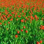 Tulips — Stock Photo #1078727