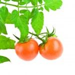 Two tomato with foliahe of tomato — Stock Photo