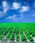 Field of potato with blue sky — Stock Photo