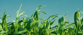 Foliage of corn — Foto Stock