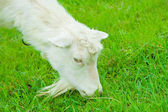 Goat eating close up — Stock Photo