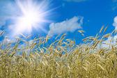 Solar wheat — Stock Photo