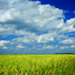 Field of wheat and sky — Stock Photo