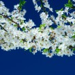 Flowers of cherry tree — Stock Photo