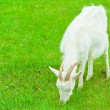 Goat on a grass - Stock Photo