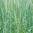 Green wheat - Stock Photo