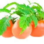 Isolated tomato with foliage — Stock Photo