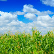 Plants of corn on a sky background — Stock Photo