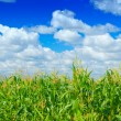 Stock Photo: Plants of corn on a sky background