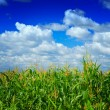Plants of corn on sky — Stock fotografie