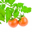 Tomato with foliage of tomato — Stock Photo
