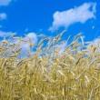 Wheat and sky - Stock Photo