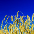 Wheat close up — Stock Photo #1089710