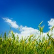 Wheat on backgorund of sky close u — Stock Photo #1089893