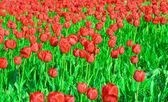 Radura di tulipani — Foto Stock