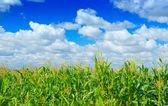 Plants of corn on a sky background — Stock Photo