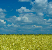 Wheat field and dramatic sky — Stock Photo