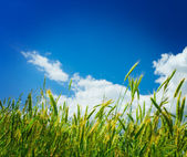 Wheat on a backgorund of the sky close u — Stock Photo