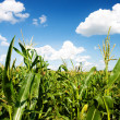 Plants of corn on a cornfield — Stock Photo #1628180