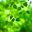 Green branch of fresh leaves - Foto Stock
