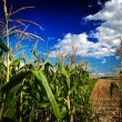 Dark corn field - Stock Photo