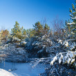 Winter pine — Stockfoto #1729514