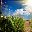 Edge of a corn field in the afternoon — Stock Photo