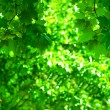 Green foliage — Stock Photo #1840990