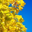 Close up yellow autumn foliage — Stock Photo #2302077