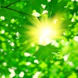 Stock Photo: Green foliage with sun