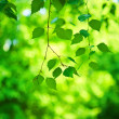 Green fresh branch of birch tree - Stock Photo