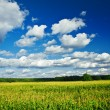 Landscape of corn field — Stock Photo
