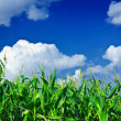 Plants of green corn on the sky — Stock Photo