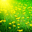 Stock Photo: Sunrise on dandelions field