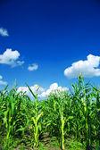 Alan yeşil mısır — Stok fotoğraf
