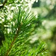 Branch of pinetree - Stock Photo
