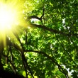 Crone of tree with sun — Stock Photo