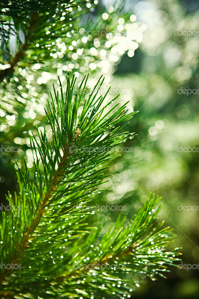 Branch of pinetree — Stockfoto #2400503