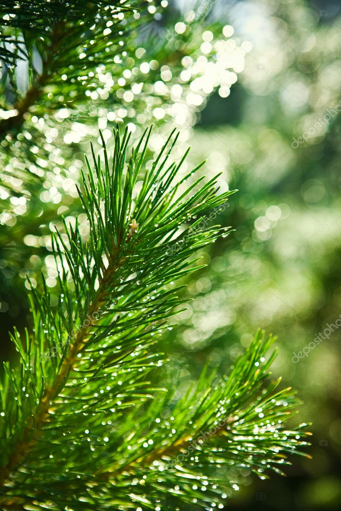 Branch of pinetree — Foto de Stock   #2400503