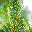 Royalty-Free Stock Photo: Branch of a pinetree